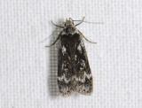 1098   Anacampsis blattariella  4628.jpg
