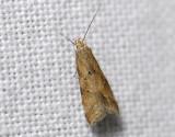 1118   Brachmia blandella  4895.jpg