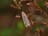 0995   Carpatolechia proximella  071.jpg