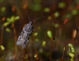0999   Teleiopsis diffinis  097.jpg
