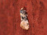 1223   Cochylis nana  116.jpg