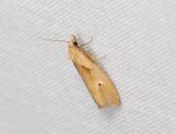 1180   Phteochroa inopiana  093.jpg