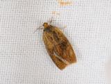1316   Ptycholoma lecheana  140.jpg