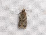 1007   Gelechia muscosella  098.jpg