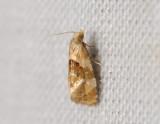 1190b   Phalonidia udana  116.jpg