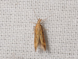 0937   Metzneria metzneriella  116.jpg