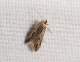 0957   Monochroa palustrella  218.jpg