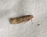 0971  Bryotropha galbanella  073.jpg