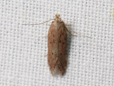 1036   Athrips pruinosella  103.jpg