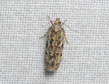 1013   Psoricoptera gibbosella  112.jpg