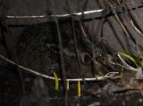 Lepus europaeus  2470.jpg