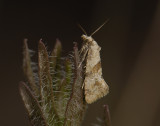 1221   Cochylidia heydeniana  6590.jpg