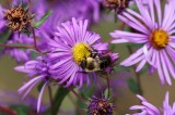 Wild bee up your aster