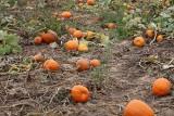How do you mend a broken Jack-o-lantern? With a pumpkin patch!