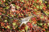 Waxwing Invasion