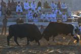 Bull fighting, Barka