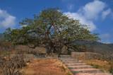 Baobab Tree, Dhalkut