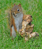 Red squirrel:  SERIES