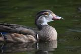 Wood Duck (m):  SERIES