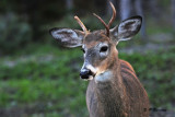 White-tailed deer (m)