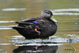Black Duck:  SERIES