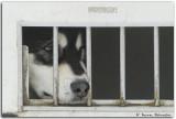 Huskies and Mushers Lac Blanc 2009