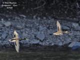 BIRDS IN MONFRAGUE PARK: AQUATIC BIRDS