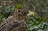 WHITE-TAILED SEA EAGLE - HALIAEETUS ALBICILLA - PYGARGUE A QUEUE BLANCHE