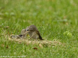 SPOTTED FLYCATCHER adult and young