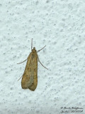 Phrygane - Trichoptera