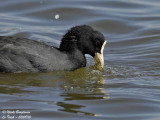 COMMON COOT -FULICRA ATRA - FOULQUE MACROULE