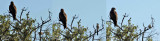 BLACK KITE AND AZURE-WINGED MAGPIE OR IBERIAN MAGPIE