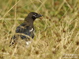COMMON-MAGPIE juvenile or moulting