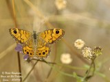 WALL BROWN - LASIOMMATA  MEGERA - MEGERE