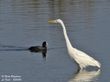 GREAT EGRET - COMMON COOT