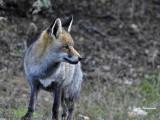 RED FOX - Vulpes vulpes