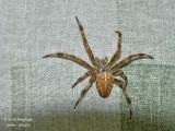 EUROPEAN GARDEN SPIDER - ARANEUS DIADEMATUS -EPEIRE DIADEME