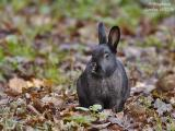 Black-Rabbit