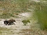 Young-Wild-Boars