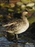 RED-BILLED TEAL - ANAS ERYTHRORHYNCHA - CANARD A BEC ROUGE