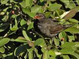 COMMON BLACKBIRD - TURDUS MERULA - MERLE NOIR