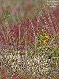GORSE-AND-DRY-GRASSES
