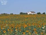 Sunflowers Spain