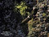 GRIFFON VULTURE cliff