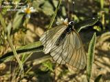 BLACK VEINED WHITE - APORIA CRATAEGI - GAZE