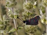 FIVE-SPOTS BURNET MOTH – ZYGAENA LONICERAE – ZYGENE CENDREE