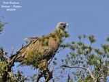 Eurasian Griffon Vulture yawning