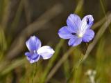 Blue Flower (genus Linum) and insects - Fleur bleue (genre Linum) et insectes