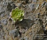 Houseleek - Crassulaceae
