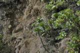 Sp Crassulaceae